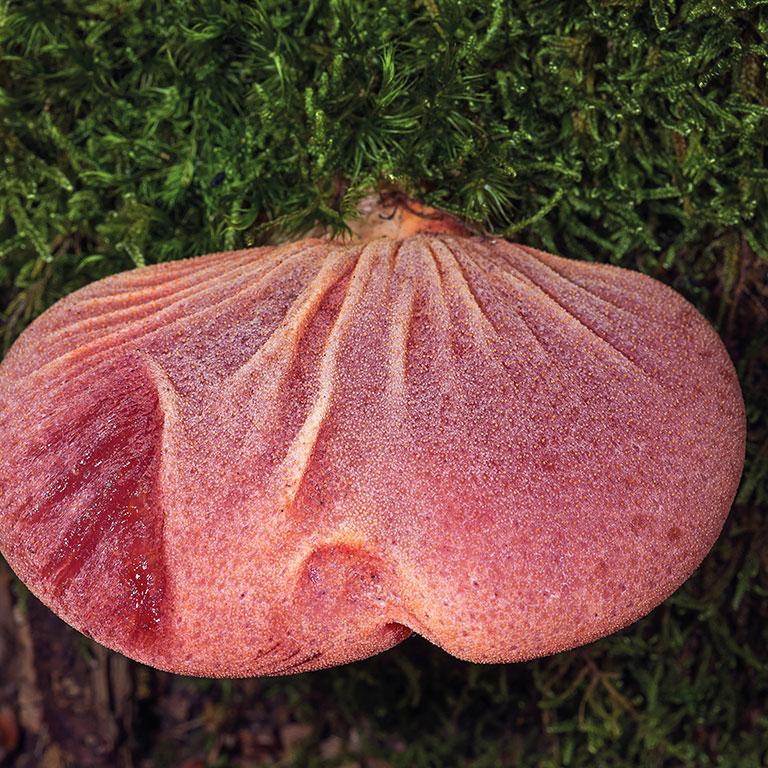 Champignon gélatineux