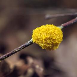 Champignon mousse