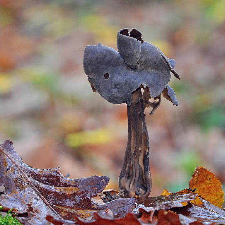 Champignon helvelle