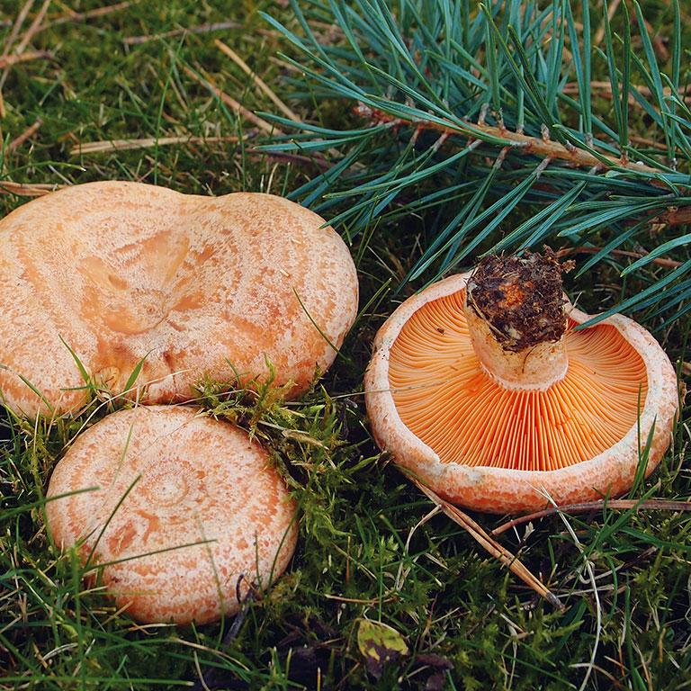 Champignon orange