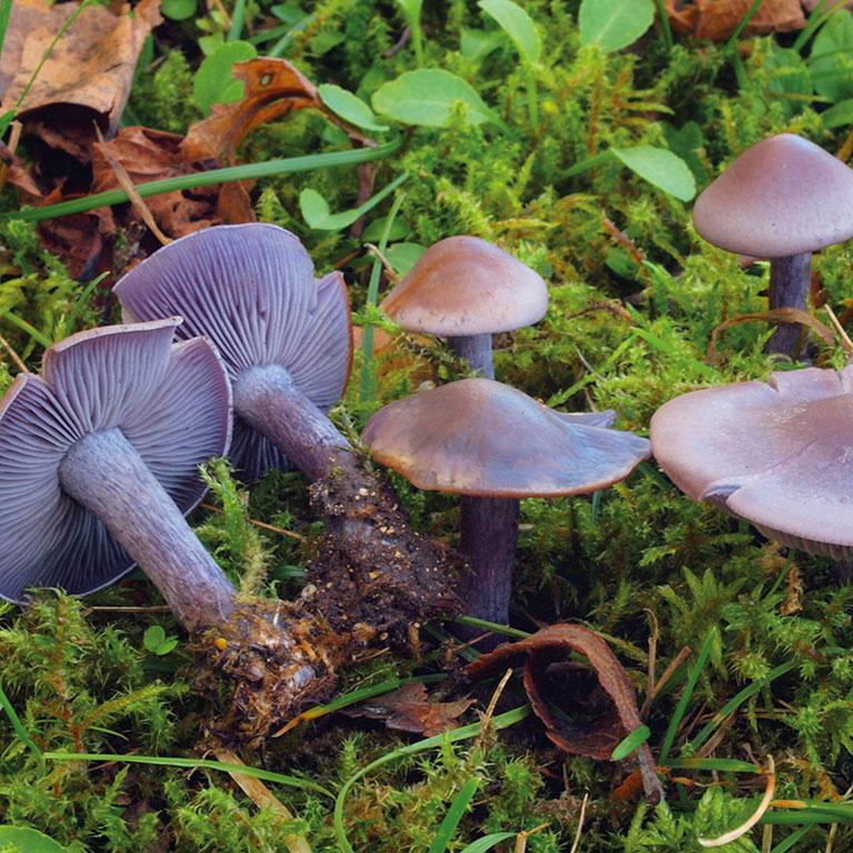 Champignon violet