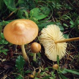 Champignon mousseron