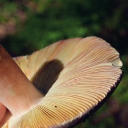 Champignon russule