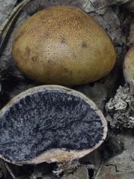 Champignon boule