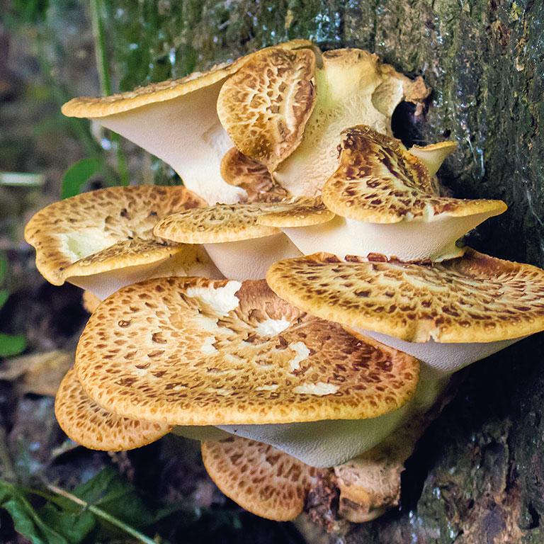 Champignon polypore