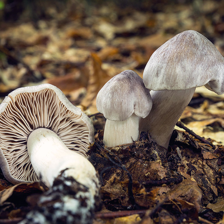 champignon un chapeau et un pied gris