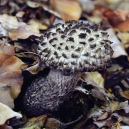 Bolet pomme de pin Un chapeau et un pied avec pores adnés ou échancrées de couleur gris