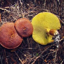 Un chapeau et un pied avec pores décurrents de couleur jaune